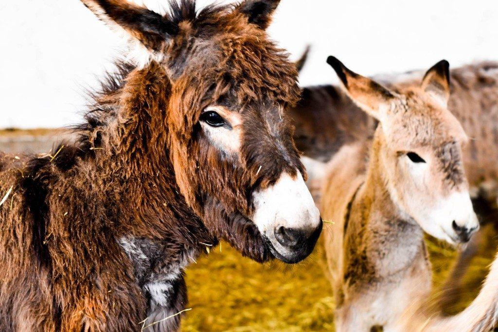 Donkeys 1024x683